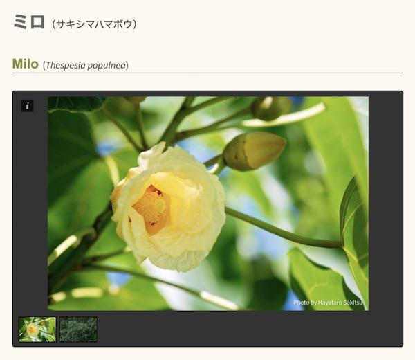 ミロ(サキシマハマボウ)の花